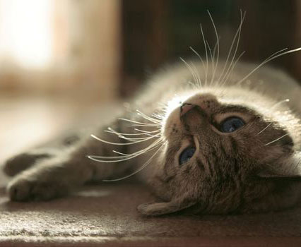 grey-cat-lying-down_sml